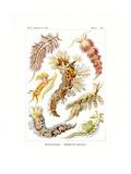 Nudibranchia, 1899-1904 Giclee Print
