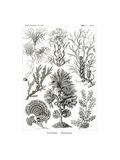 Fucoideae, 1899-1904 Giclee Print