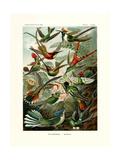 Trochilidae, 1899-1904 Giclee Print