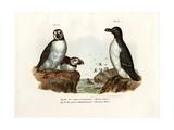 Artic Puffin, 1864 Impression giclée