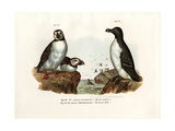 Artic Puffin, 1864 Giclee Print