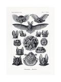 Chiroptera, 1899-1904 Giclee Print