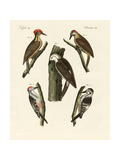 Beautiful Woodpeckers Giclee Print