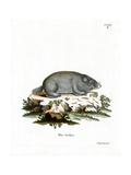 Cape Dune Mole Rat Giclee Print