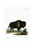 American Bison Giclée-tryk