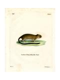 Golden Atlantic Tree Rat Giclee Print