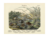 Molluscs, C.1860 Giclee Print