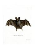 Lesser False Vampire Bat Giclee Print