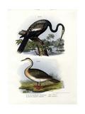 Anhinga, 1864 Giclee Print