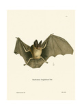 Striped Hairy-Nosed Bat Giclee Print