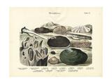 Molluscs, C.1860 Wydruk giclee