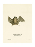 Silky Short-Tailed Bat Giclee Print