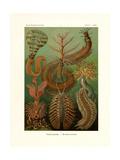 Chaetopoda, 1899-1904 Giclee Print