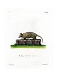 Twelve-Banded Armadillo Giclee Print