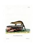 Banded Mongoose Giclee Print