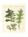 Acanthus Plants Giclee Print
