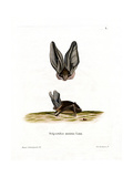 Grey Long-Eared Bat Giclee Print