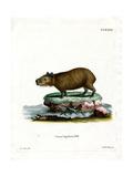 Capybara Giclee Print