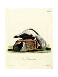 Striped Skunk Giclee Print