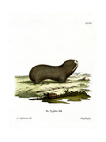 Greater Mole Rat Giclee Print