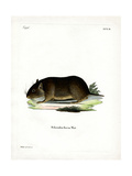 Chilean Rock Rat Giclee Print