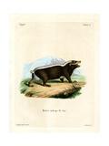 Sunda Stink Badger Giclee Print