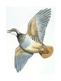 Birds: Galliformes, Red-Legged Partridge (Alectoris Rufa) Impression giclée