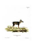 Reindeer Fawn Wydruk giclee