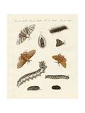 German Moths Giclee Print