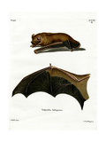 Greater Noctule Bat Giclee Print