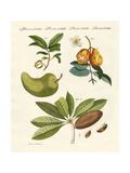 American Fruits Giclee Print