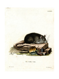 Black Rat Giclee Print