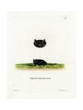 Common Pipistrelle Giclee Print
