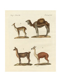 Various Camels Giclee Print