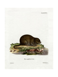 Water Rat Giclee Print