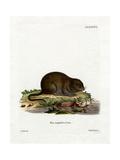Water Rat Giclee Print