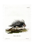 Crested Porcupine Giclee Print
