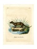 Javan Mongoose Giclee Print