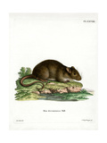 Brown Rat Giclee Print