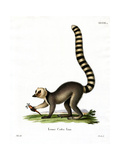 Ring-Tailed Lemur Giclee Print