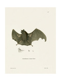 Sac-Winged Bat Giclee Print