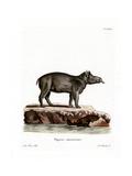 Baird's Tapir Giclee Print