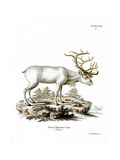 Siberian Reindeer Wydruk giclee