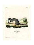 Cape Grey Mongoose Giclee Print