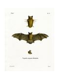 Kuhl's Pipistrelle Giclee Print