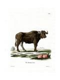 Water Buffalo Giclée-tryk