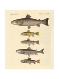 Kinds of Trouts Giclée-Druck