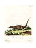 Egyptian Mongoose Giclee Print