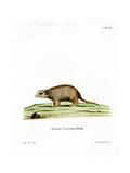 Surikate Giclee Print