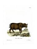 Cape Buffalo Giclée-tryk